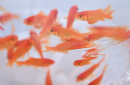 【大和郡山市】金魚を用水路に不法投棄(YouTube)の業者の名前と場所を特定?
